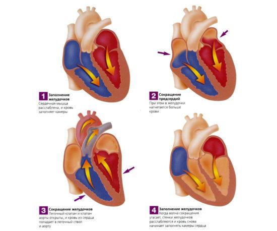 Наглядное отображение сердечного цикла